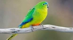 Virus amenaza con la extinción de una especie de ave en Australia