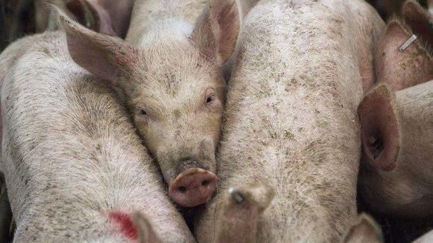 Detectan en cerdos chinos un virus de la gripe potencialmente pandémico en humanos