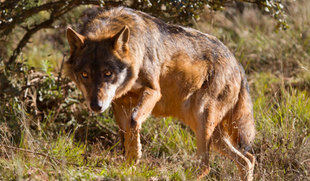 La Junta ordena suspender la caza del lobo al norte del Duero