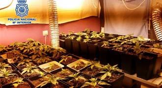 Desmantelan un invernadero de marihuana en Algatocín y detienen a un hombre