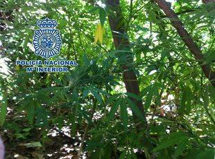 Aprehendidas 261 plantas de marihuana en Hornachuelos