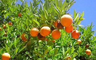 El buen tiempo de diciembre favorece la buena calidad de la naranja, aunque el nivel de comercialización es más bajo