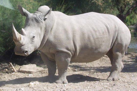 Muere rinoceronte blanco en zoológico de EEUU y solo quedan tres en el mundo