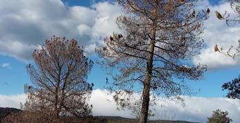 Asaja-Córdoba alerta de la 'grave situación' de la plaga de orugas procesionarias en los pinos