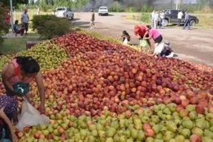 Productores de la fruta de Fernández Oro tiraron 100.000 kilos de peras de exportación