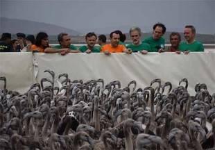 Anillan a más de 600 pollos de flamenco en Fuente de Piedra