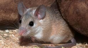 Hallan nueva especie de ratón en bosques del sur de Chile