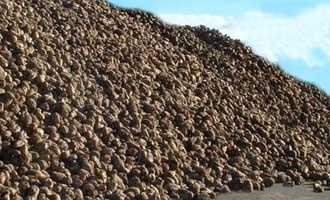 Los remolacheros andaluces llevan procesadas 575.000 toneladas en esta campaña