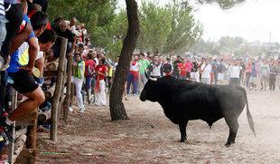 El 'Toro de la Pe�a' sustituir� al 'Toro de la Vega' en Tordesillas