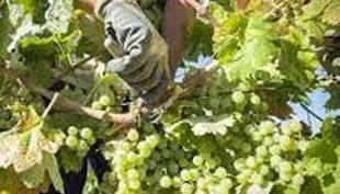 Arranca la vendimia de la variedad zalema en el Condado con unos 15 días de retraso