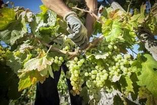 La vendimia en Montilla-Moriles arranca este jueves con la previsión de Asaja de una cosecha inferior